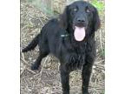 Adopt Quinton a Black Flat-Coated Retriever / Mixed dog in BIRMINGHAM