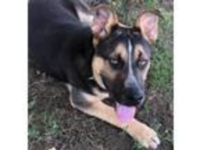 Adopt BALASO a Black - with Tan, Yellow or Fawn Hound (Unknown Type) / Mixed dog