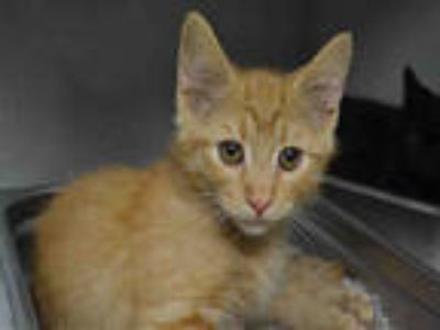 Adopt JONNY a Orange or Red Tabby Domestic Shorthair / Mixed (short coat) cat in