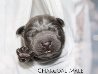 Labrador Retriever PUPPY FOR SALE ADN-90464 - Silver Charcoal Black and Chocolate Labradors