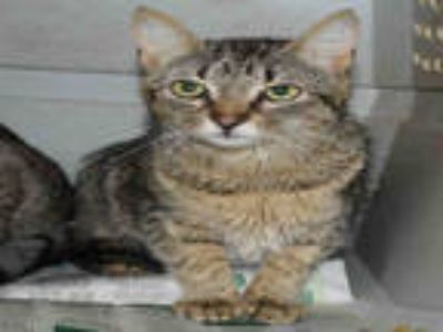 Adopt DAVINA a Brown Tabby Domestic Shorthair / Mixed (short coat) cat in