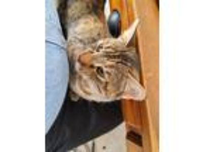 Adopt Lilly a Spotted Tabby/Leopard Spotted Domestic Mediumhair cat in Lake