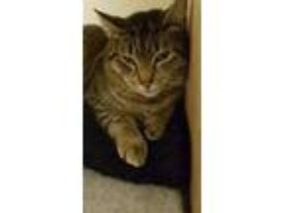 Adopt Bambi a Tabby, Domestic Short Hair