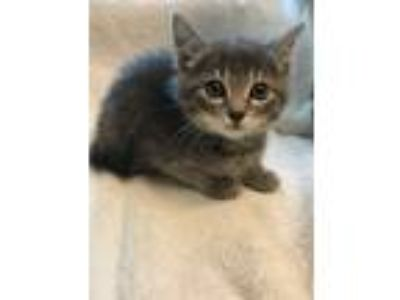 Adopt Brielle a Gray or Blue (Mostly) Domestic Shorthair (short coat) cat in