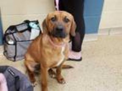 Adopt MO a Red/Golden/Orange/Chestnut - with White Labrador Retriever / Mixed