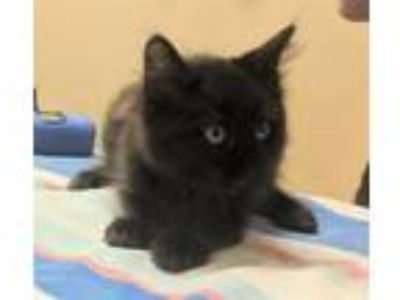 Adopt Willy Nelson a Domestic Long Hair