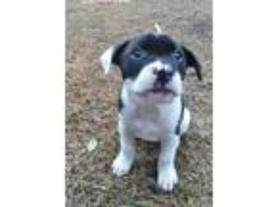 Adopt BANDIT a Brindle - with White Boxer / Labrador Retriever / Mixed dog in