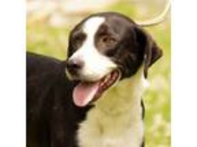 Adopt Jaime a Hound, Border Collie