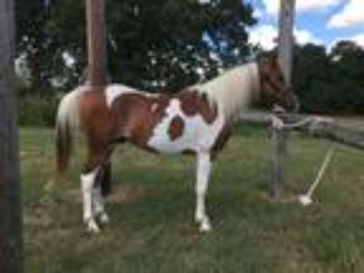 Flashy Pintabian Gelding for Sale