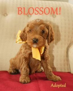 Australian Labradoodle PUPPY FOR SALE ADN-52028 - Australian Labradoodle  All Puppies Adopted