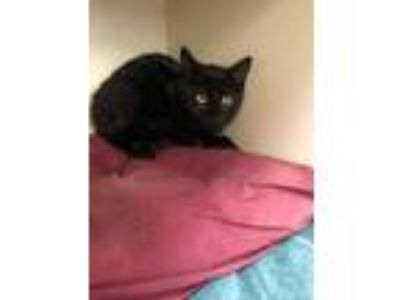 Adopt Midnight (At Pounce Cat Cafe) a All Black Domestic Shorthair / Domestic