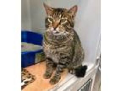 Adopt Harrison a Domestic Shorthair / Mixed (short coat) cat in St.