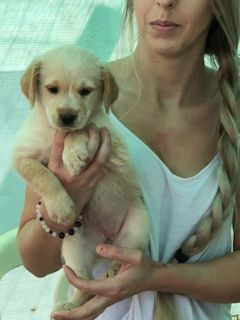 Labradoodle-Labrador Retriever Mix PUPPY FOR SALE ADN-96344 - Labradoodles