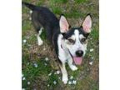 Adopt BANE (THE DC COMIC PUPPIES) a Collie, Australian Cattle Dog / Blue Heeler