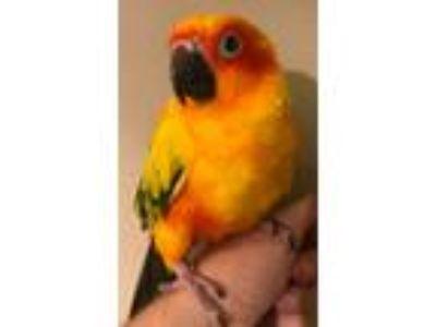 Adopt Kiwi a Conure bird in Stratford, CT (20289110)