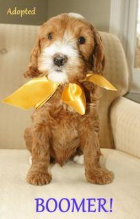 Australian Labradoodle PUPPY FOR SALE ADN-52025 - Australian Labradoodle  All Puppies Adopted
