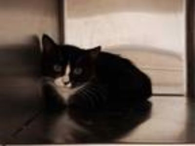 Adopt OLYMPIA a Black & White or Tuxedo Domestic Shorthair / Mixed (short coat)