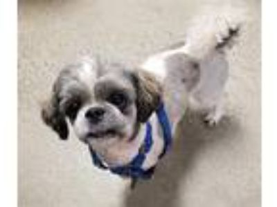Adopt Benny a Shih Tzu / Mixed dog in Madison, NJ (25270259)