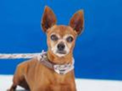 Adopt COOKIE a Miniature Pinscher