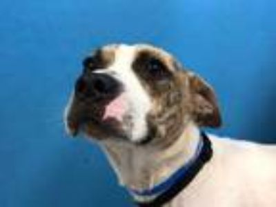 Adopt Bryson a White American Pit Bull Terrier / Basset Hound / Mixed dog in St.