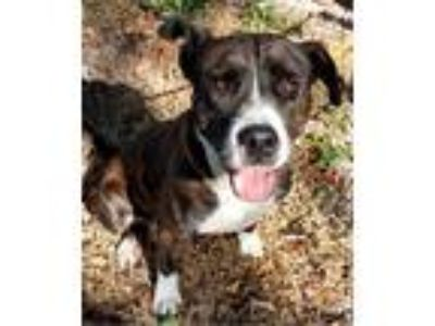 Adopt Joyce a Brindle - with White Pit Bull Terrier / Mixed dog in Key Largo