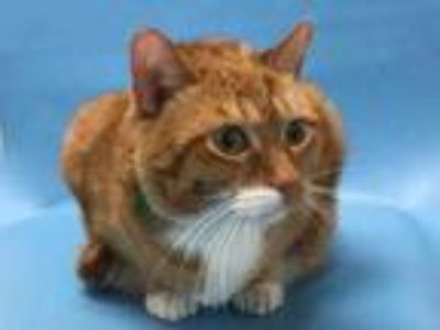 Adopt Simba a Orange or Red Domestic Shorthair / Mixed cat in Coon Rapids