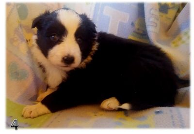 Border Collie PUPPY FOR SALE ADN-107966 - BORDER COLLIE CHRISTMAS PUPPIES IN ARIZONA