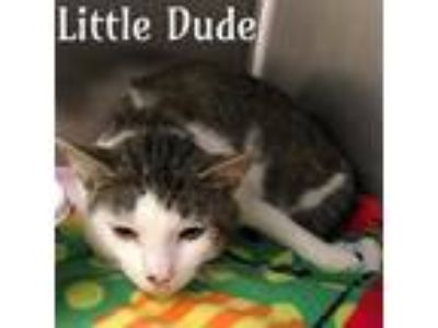 Adopt LITTLE DUDE a White (Mostly) Domestic Shorthair / Mixed (short coat) cat