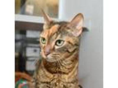 Adopt Genesis a Domestic Shorthair / Mixed cat in Des Moines, IA (25908938)