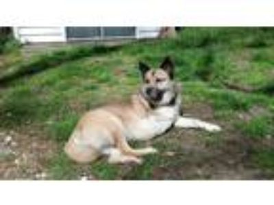 Adopt Yuushi a Tricolor (Tan/Brown & Black & White) German Shepherd Dog / Shiba