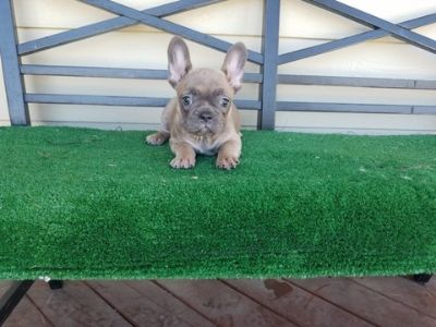 French Bulldog PUPPY FOR SALE ADN-96090 - AKC French Bulldog Girl