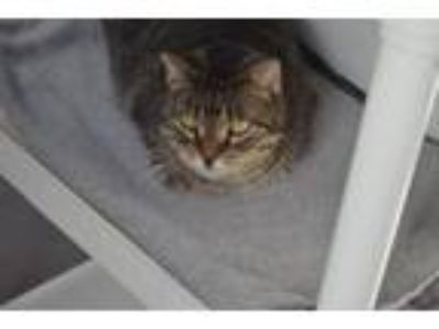 Adopt Coleen a Domestic Short Hair