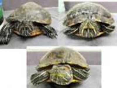 Adopt TURTLES a Red-Eared Slider, Yellow-Bellied Slider