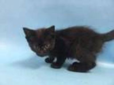 Adopt Hooper a All Black Domestic Shorthair / Domestic Shorthair / Mixed cat in