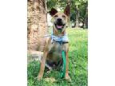 Adopt Didi a Brown/Chocolate - with Tan Labrador Retriever / Shepherd (Unknown