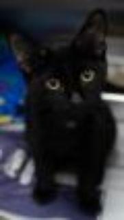 Onyx Domestic Short Hair Cat