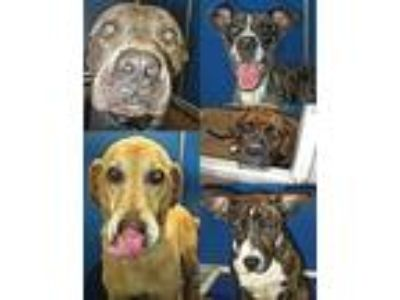 Adopt Pets of the week 7/3/19 a Staffordshire Bull Terrier