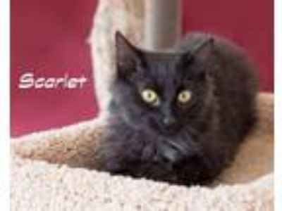 Adopt Scarlet a Domestic Mediumhair / Mixed (medium coat) cat in Stover