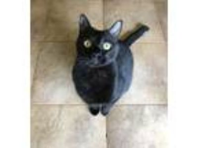Adopt Pachinno a All Black Bombay / Mixed cat in Loranger, LA (23074717)