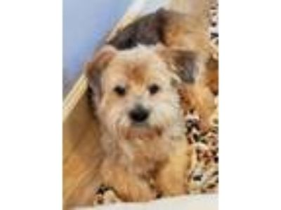 Adopt Sandi a Poodle, Yorkshire Terrier