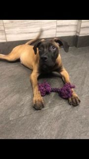 Bullmastiff PUPPY FOR SALE ADN-105454 - GORGEOUS BULLMASTIFF PUPPY AMAZING PERSONALIT