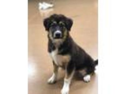 Adopt Puppies! Available after July 14th! a Black - with Tan