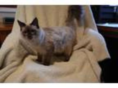 Adopt Michelangelo a Cream or Ivory (Mostly) Siamese (long coat) cat in
