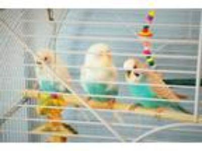 Adopt 3Amigos a Parakeet (Other)