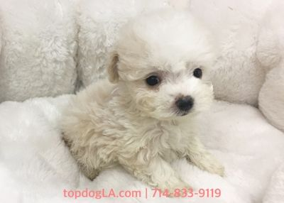 Maltipoo PUPPY FOR SALE ADN-78651 - Maltipoo female Bubble