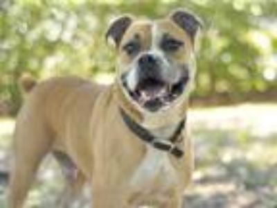 Adopt BOSS a Tan/Yellow/Fawn - with White Boxer / Mixed dog in Tavares