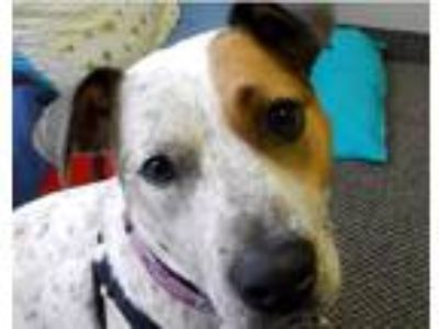 Adopt DESTINY a Merle Catahoula Leopard Dog / Mixed dog in Seagoville