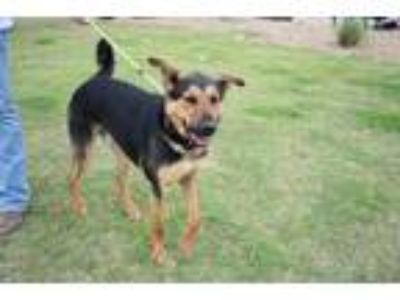 Adopt Diego a Black - with Tan, Yellow or Fawn German Shepherd Dog / Mixed dog