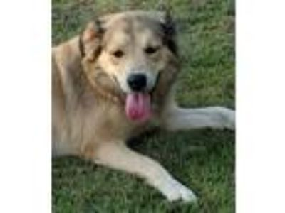 Adopt Valley a Australian Shepherd, Collie