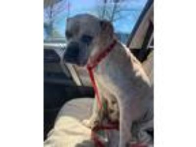 Adopt Sandra Dee a Boxer / Mixed dog in Barrington, RI (25329412)
